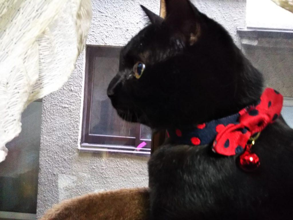首輪つけた猫