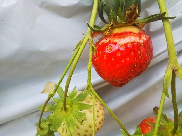 ひび割れたイチゴ